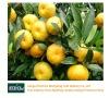 Nanfeng baby mandarin orange