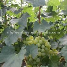 chinese green grapes