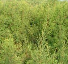Tea tree oil (Melaleuca ahemifolia)