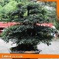 chino único diospyros cathayensis ornamentales plantas frutales con nombre