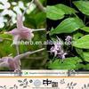 Chinese herb epimedium seeds