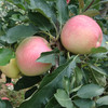 Hot sale sweet crisp new fresh red apples in china fresh red delicious apples