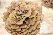 organic maitake extract ;USA&EU organic certificate;edible and medicinal mushroom;No.1 ecological environment