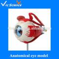 5 x 5 x 10 cm pequeño modelo anatómico del ojo