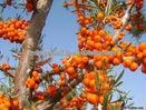 Total flavonoids 10%20%30% 40% Seabuckthorn fruit powder