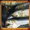 gefrorene frische Sardine für thunfisch köder