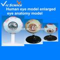 humanos modelo de ojo ojo ampliada modelo de anatomía