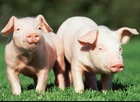 Probiotics for pig fat and healthy feed additives