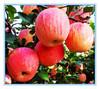 Export Fresh Red Delicious Apple Bulk Fresh Fruit