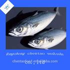Fresh seafood scientific name of spanish mackerel