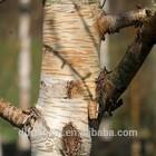 Betula costata logs from China/Birch logs