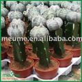 Petites plantes succulentes plantes d'intérieur( mini animaux de compagnie greffé cactuse)