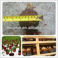sempreverde piante tropicali cycas revoluta bonzai