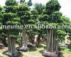 Ficus nitida & plants landscape Ficus Microcarpa bonsai Big tree