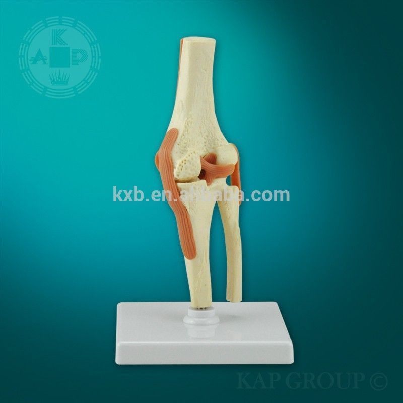 Human Anatomy Joints Human Anatomy Elbow Joint