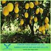 Chinese Fresh Lemon Fruit