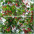 Famosa frutas en conserva de la cereza extracto