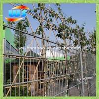 Bamboo cane using climbing plants growing