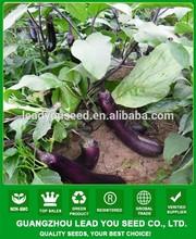 ME15 Zidu mid-early maturity red purple hybrid f1 eggplant seeds