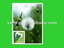 High Quality Dandelion,Herb Plant,Herb Medicine