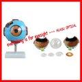 Modelo de ojo, ampliada modelo de globo ocular, humanos modelo anatómico del ojo