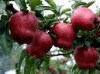 2012012 Fresh Red delicious Huaniu Apple,manufacturer ,supplier for fruits