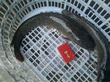 2012 new season catfish frozen whole catfish