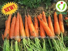 2013New china carrot 10Kg cartons High quailty