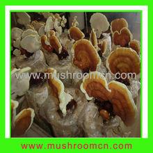 growing reishi mushrooms with NOP/USDA certificate