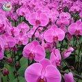 Phalaenopsis orquídea interior planta bonita flores mudas