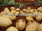 LW-Best Chinese Fresh Potato New crop fresh potato