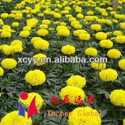 Supercritical marigold oleoresin(KOSHER certificated)