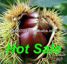 2013 de la alta calidad de exportación y frutos secos frescos castañas cáscara