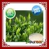GMP Green tea extract powder
