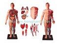 Corpo humano músculos com um órgão interno 170cm ( modelo anatômico )