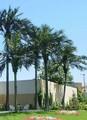falsos del árbol de palma