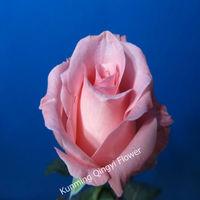 Wholesale good quality Fresh cut flowers rose flower