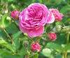Pure Rose Oil - Rosa Damscena