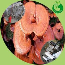 Chinese Herbal Reishi Mushroom Powder Reishi Mushroom Extract