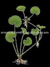 Centella Asiatica / Gotu Kola Extract