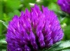 Total isoflavones red clover p.e.
