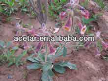 Rehmannia Plant extact