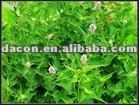 herba agastaches seu pogostemi extracto