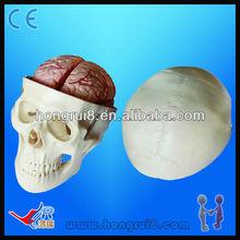 Plastic Skull,High Quality Education Skull Model, scale model of the human brain