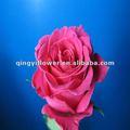 Grande cabeça flores rosa