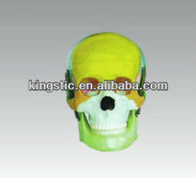 Skull with Colored Bones
