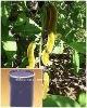 Mucuna Extract herbal medine