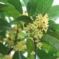 osmanthus fragrans sabor para todos os tipos de alimentos