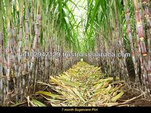 Organica growth inducer - sugarcane plantation