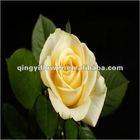 Natural rose flowers, cut flowers